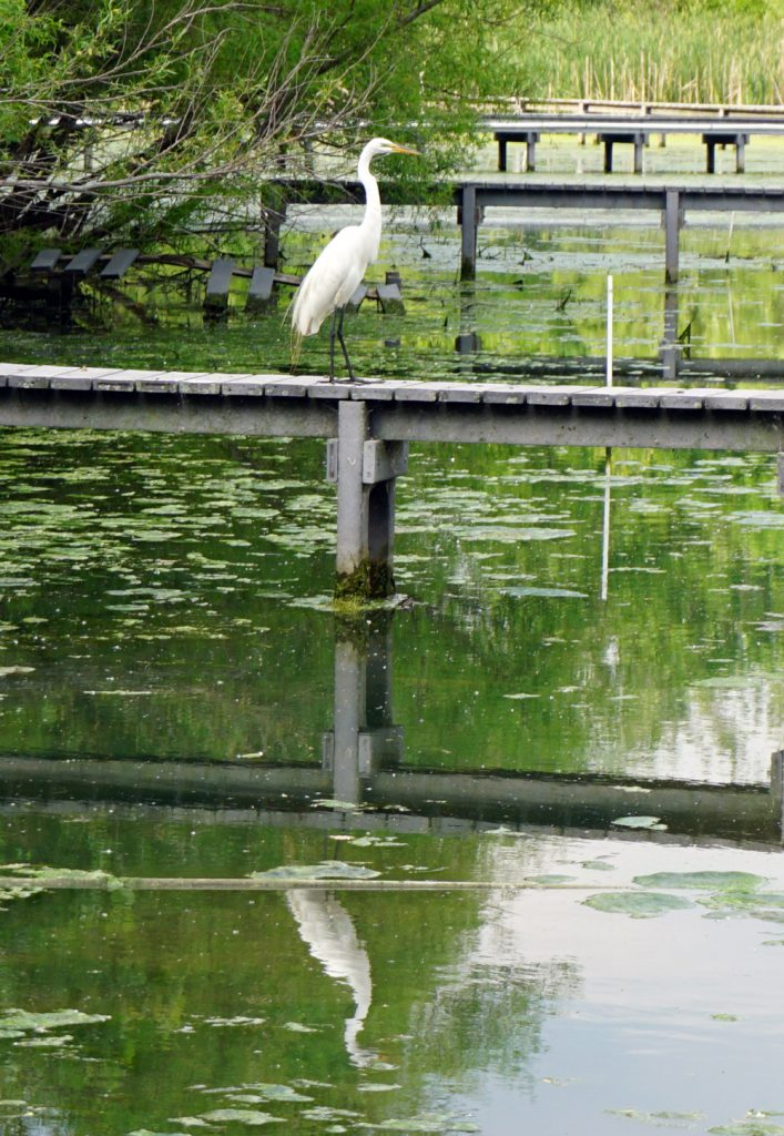 egret at the Olentangy Wetlands